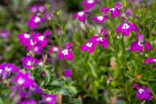 Lobelia Bright Pink Flowers Ar...
