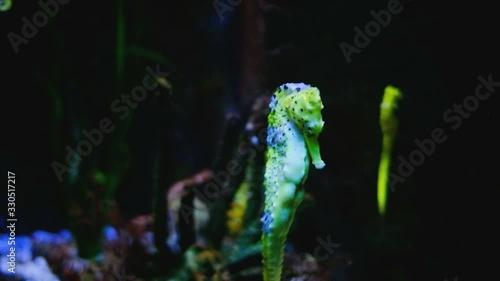 seahorse close-up in marine aquarium with corals and anemones