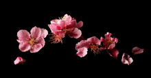 Spring Flowers Isolated On Bla...