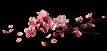 Spring Flowers Isolated On Black, With Clipping Path