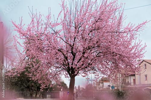 Albero di ciliegio fiorito - primavera Canvas Print