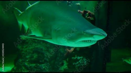 bull shark in marine aquarium panorama fins eyes teeth