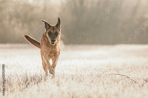 Fototapeta Hund an frostigem Morgen