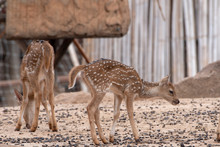 Two Young Deer Standing On The...