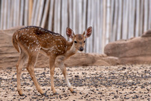 A Young Deer Standing On The B...