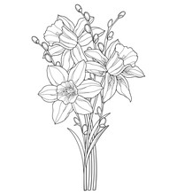 Bouquet With Outline Narcissus Or Daffodil Flower And Willow Branch In Black Isolated On White Background.