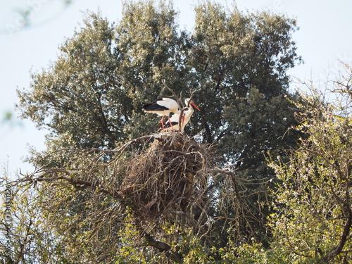 do aves c olor negro y blanco  con pico y patas largos y naranja, sobre un nido Canvas Print