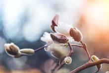 Blooming White Magnolia Tree O...