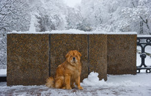 Frowning Dog (Chow-chow) In Th...