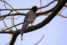 Long Tail Blue Magpie Bird On ...