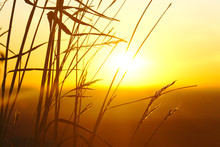 Sunrise Through Grasses