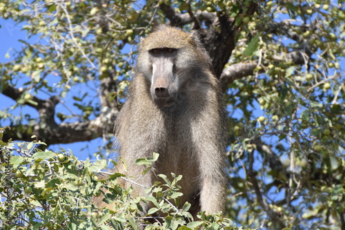 Photo Male chacma baboon in Chobe National Park, Botswana