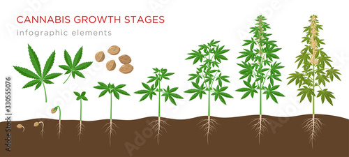 Cannabis sativa growth stages from seeds to mature plant with hemp leaves, flowers and roots - infographic elements isolated on white background.