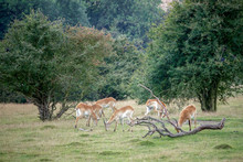 Red Lechwe Antelope (Kobus Lec...