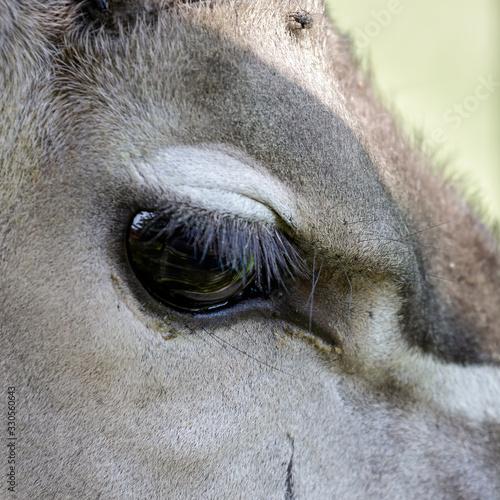 Photo Greater Kudu (Tragelaphus strepsiceros)