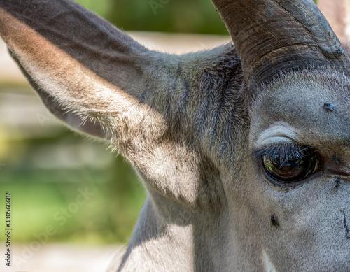Photo Greater Kudu (Tragelaphus strepsiceros) close up of face