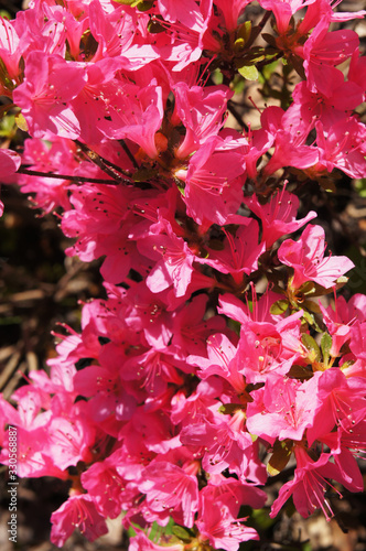 Azalea japonica or rhododendron japonicum red flowers vertcial Fototapet
