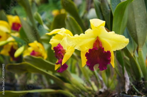 Photo Brassolaeliocattleya alma kee tip malee yellow and red orchid growing flowers