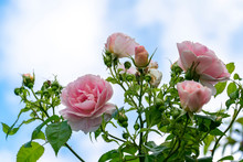 Pink Roses In A Summer Garden Against A Bright Blue Sky. Floral Spring And Summer Background With Roses, Free Space For Text.