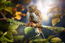Small Owl In Deep Magic Forest...