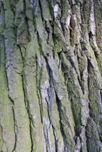 Thick Bark From A Large Oak Tree