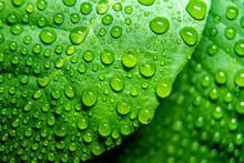 Raindrops, Water On A Lemon Le...