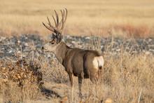 Mule Deer Buck In Colorado Dur...