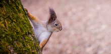 Curious Squirrel Peeks Out Fro...