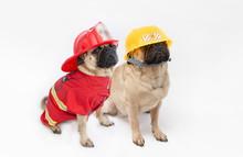 Cute Pug Dogs Wearing A Fire F...