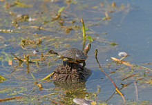 Red Eared Slider Turtle Trying...