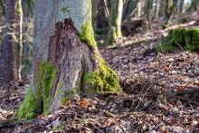 Fresh Beaver Tracks In The Dec...