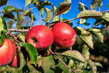 Apple Orchard Tree Branch Two Red Fruit In Cluster Closeup In Garden Autumn Fall Farm Countryside In Virginia With Leaves And Sky Background
