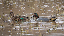 Blue Winged Teal On The Pond