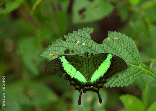 Papilio palinurus, the emerald swallowtail, emerald peacock or green-banded peacock, a butterfly of the genus Papilio of the family Papilionidae. Top view on green leaves with holes from catepillars
