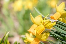 Closeup Of Some Pretty Daffodi...