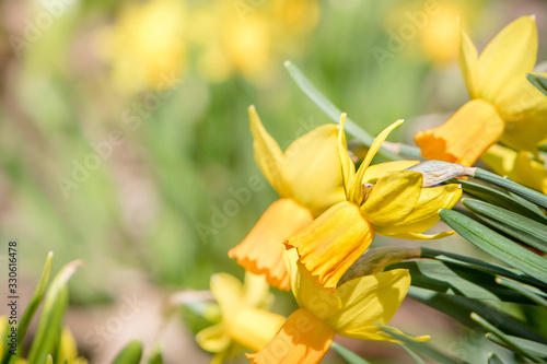 Fotografie, Obraz Closeup of some pretty daffodils.