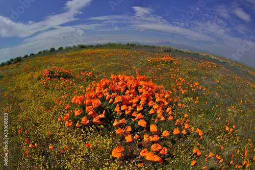 Windblown clump of California Poppies, Antelope Valley, California Fototapet
