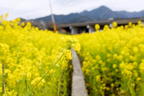 Narrow walkway going through a field of yellow flowers