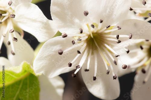 White Spring Flower on Fruit Tree Wallpaper Mural
