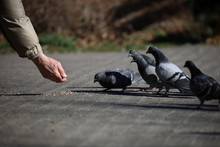 Pigeons In The City, Feeding B...