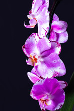 Lilac Orchids, Dark Background...
