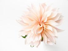 Single Fresh Dahlia Bloom On White Background