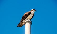 Hawk On Post(Everglades)