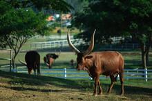 Long Horned Ankole Watusi Cows...