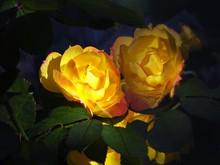 Sunlit Yellow Rose