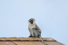 Vervet Monkey On Roof Of Build...
