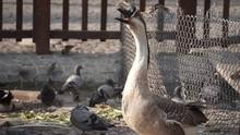 An African Goose Yawning Ungra...