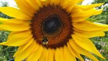 Closeup Shot Of The Sunflower ...