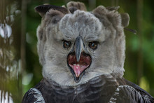 Portrait Of Harpy Eagle (Harpi...