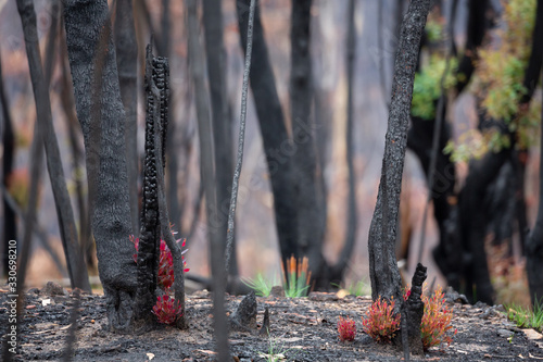 Trees and plants start to recover after bush fires in Australia Fotobehang